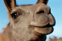 Lamas hautnah - ein Tiererlebnis für die ganze Familie