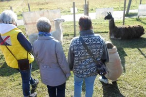 Begegnung mit dem Krafttier Lama - ein erstes Kennenlernen und Wahrnehmen, Prachtlamas