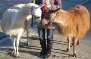 Lamas stärken Herzen, Foto Prachtlamas