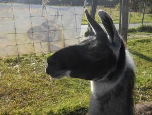 Lama Hannibal ganz entspannt vor der Lamawanderung zum Herzen, Foto Prachtlamas