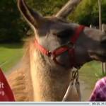 Lama Caruso ist mit Kindern im Revierpark Nienhausen unterwegs - zu sehen im WDR-Fernsehen