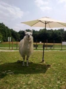 Kein Stress mit dem Stress - Entspannung lernen vom Lama, Foto: Prachtlamas