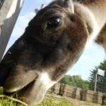 Der März wird tierisch gut - Lamawanderungen im Ruhrgebiet_DSCN5754_Prachtlamas