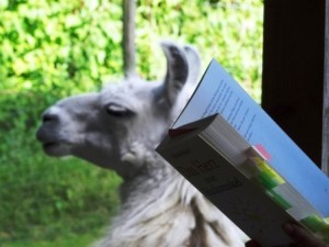 Lesung mit Lamas: Lama Dancer hat sich zu uns gesetzt und hört auch zu, während Beate Pracht aus Ihrem Buch liest