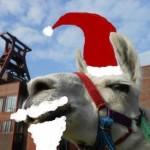 Weihnachtslama Kasimir - Tiererlebnisse im Advent mit Lamas im Dezember, Foto: Prachtlamas