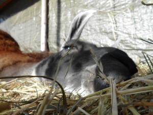 Lama Hannibal liegt in der Winter-Sonne im Unterstand und freut sich, Foto Prachtlamas