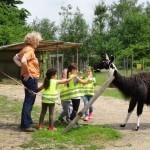DSC01849_erlebnis-pädagogisches Tiererlebnis mit Lamas in Gelsenkirchen_Prachtlamas