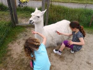 Lamas sind selbstbewusst mutig vertrauenswoll - das können Mädchen von Lamas lernen, Foto: Prachtlamas