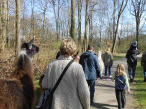 Lamawanderung im Ruhrgebiet auf die Ruhrgebiets-Anden, den Abraumhalden des Reviers