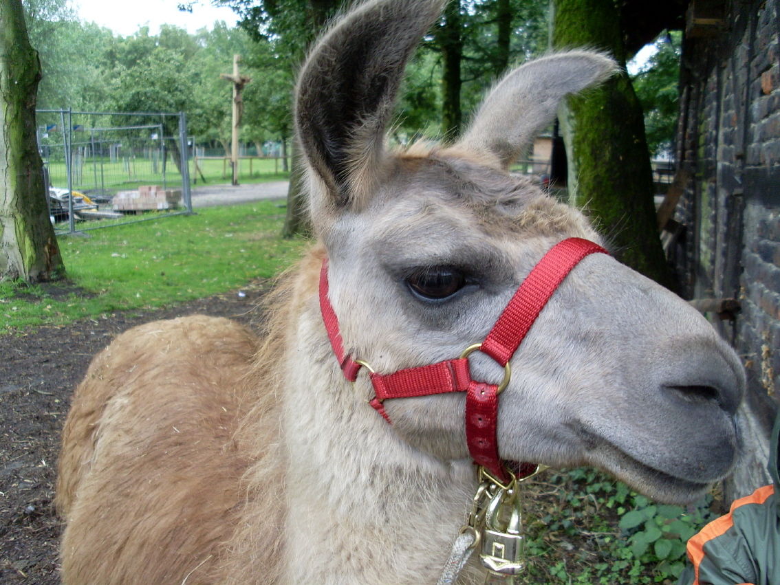 Lama Carusa freut sich auf die Lama-Wanderung