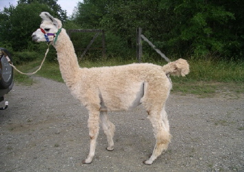 Lama Dancer als junges Lamafohlen (Foto: Wallikewitz von den Eifel-Lamas)