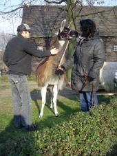 Sport- und Bewegungstherapie mit Lamas im Ruhrgebiet in Gelsenkirchen bei Beate Pracht (auf Hof Holz)