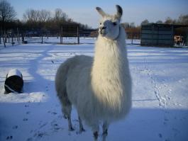 Lama-Wallach Dancer macht auch im Schnee eine gute Figur - das Lama-Trekking hält eben fit