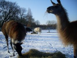Die Lamas vom Beate Pracht auf dem Hof Holz geniessen den frisch gefallenen Schnee.