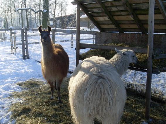 Die Lamas haben im Sommer und Winter kräftig Hunger auf Heu
