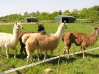 Hier das tierische Prachtlamas Team auf der Weide in Gelsenkirchen