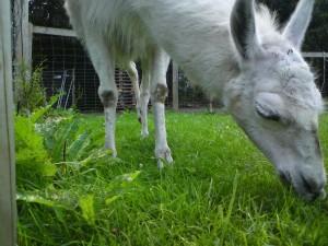 Sommer trocknet Wiese aus - Also gibts Heu für die Lamas