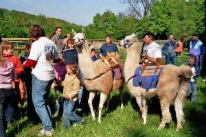 Prachtlamas feiert dreijähriges Jubiläum - Foto von 2007: die Lamas kommen zu Prachtlamas auf den Hof Holz