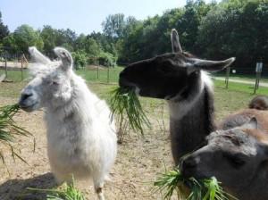 Lamas bei der Einführung aus der Hand füttern
