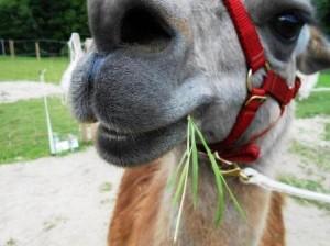 Lama Caruso lässt es sich gut gehen in den Ferien 2013
