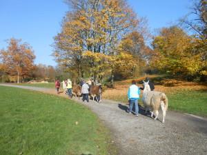 Lamawanderung in der Parklandschaft im Gesundheitspark Nienhausen in Ruhrgebiet NRW
