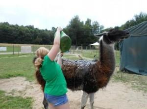 Abkühlung gefällig? Wir begießen die Lamas beim Ferien-Tag in Gelsenkirchen, Essen, Ruhrgebiet im August, Sommer, 2013
