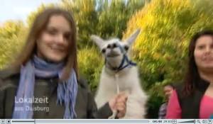 Screenshot In der Lokalzeit-Ruhr berichtet der WDR-Duisburg über die neuen Angebote im Revierpark Nienhausen u.a. die Lamas