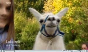 Screenshot WDR-Duisburg zeigt in der Lokalzeit-Ruhr Bilder von den Prachtlamas im Revierpark Nienhausen