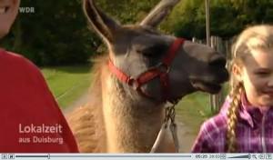 Lama Caruso ist mit Kindern im Revierpark Nienhausen unterwegs - zu sehen im WDR-Fernsehen Loaklzeit Ruhr, Duisburg vom letzten Samstag