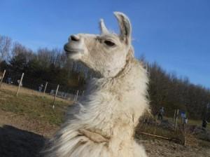 Lama Dancer genießt die Sonne und freut sich auf die kommenden XL_Lamawanderungen, Foto:Prachtlamas