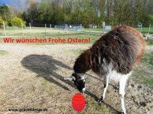 """Das Prachtlamas-Team wünscht """"Frohe Ostern!"""". Foto: Lama Hannibal hat das Osterei gefunden ;-)"""