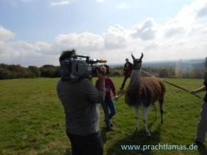 RTL West sendet Bericht über Rungenberg-Lamawanderung im Fernsehen, Foto: Prachtlamas
