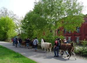 Lamawanderung auf die Anden des Ruhrgebiets - von Gelsenkirchen nach Essen auf die Halde Zollverein 4/5/11, Foto: Prachtlamas