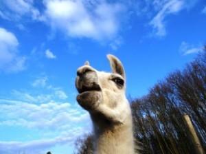Hallo Frühling! Lama-Wanderungen im Ruhrgebiet