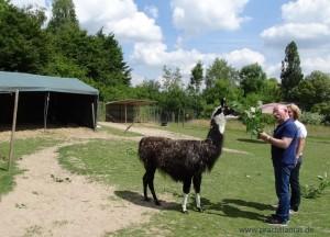 WDR Fernsehkoch Horst Lichter kam zu den Lamas von Beate Pracht nach Gelsenkirchen, Ruhrgebiet, NRW