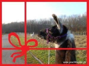 Lamawanderung zu Weihnachten verschenken, Geschenk-Gutscheine von Prachtlamas in Gelsenkirchen/ Essen, im Ruhrgebiet, NRW