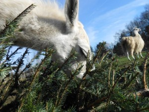 Lama Kasimir knabbert an einer echten Lama-Winter-Leckerei: einer saftigen Tanne, Foto: Prachtlamas