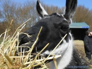 Lama Diego schmeckt das angebotene, frische Heu - Tiererlebnisse mit Lamas im Ruhrgebiet, Foto: Prachtlamas
