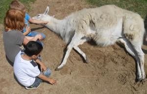 Lama Kasimir legt sich vertrauensvoll und ganz entspannt neben die Kinder