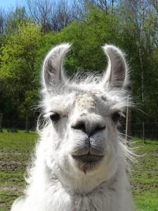 Lama Dancer genießt die Sonne auch im Winter, Tiererlebnisse mit Lamas in NRW, Prachtlamas