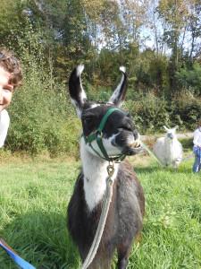 Lamas hautnah erleben - das können Sie im Ruhrgebiet, in Gelsenkirchen bei den Prachtlamas (NRW)