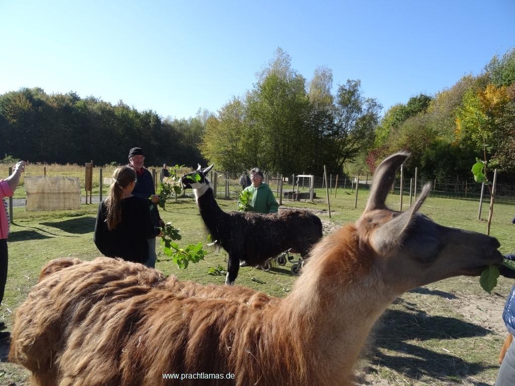 Bevor es losgeht: Zeit für ein vertrauensvolles Kennenlernen der Lamas auf der Weide mit Streicheln, füttern - und vielleicht einem Lamaküsschen