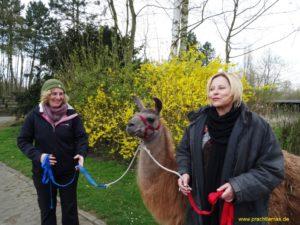 Auch beim Familien-Lama-Abenteuer sind wir mit den Lamas unterwegs und machen eine kleine Führrunde, Foto Prachtlamas