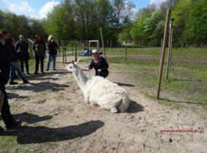 Eine achtsame und schrittweise Begegnung mit den Lamas fördern ein gegenseitiges Vertrauen. Foto: Prachtlamas