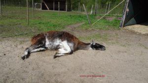 Lama Hannibal liegt vertrauensvoll und entspannt in der Sonne - bei Besuch unserer Gäste zur Achtsamkeits-Lamawanderung, Foto: Prachtlamas
