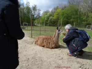 Zum Kennenlernen: Vertrauensvolle Begegnung mit aus-der-Hand-füttern, ganz entspannt bleibt Lama Caruso sitzen