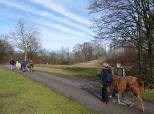Lamawanderung in der Parklandschaft Gesundheitspark Nienhausen Gelsenkirchen Essen, Programm im Februar 2019 Prachtlamas
