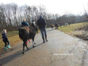 Lamawanderung in der Parklandschaft im Ruhrgebiet im Winter 2017
