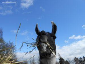 Lama Hannibal frisst frisches Heu in Gelsenkirchen
