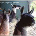 Die Lamas Caruso, Diego und Hannibal sitzen im Weidezelt im warmen Heu und lächeln uns an